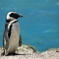 Penguin Sea Nature Animals Ocean